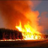 Смелая позиция Венгрии: Уничтожаются все поля с генетически модифицированной  кукурузой